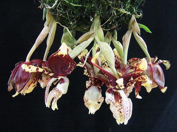 Stanhopea tigrina group