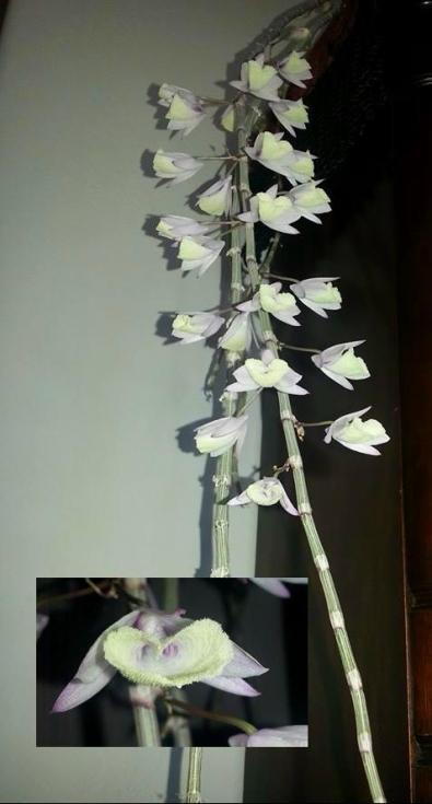 Dendrobium aphyllum (2)