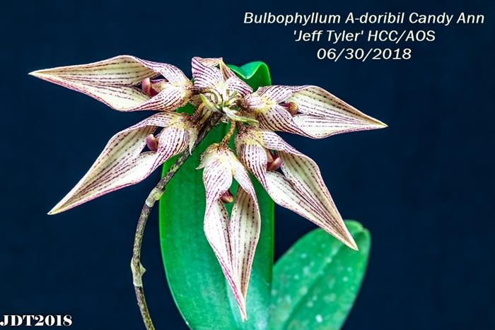 Bulbophyllum A-doribil Candy Ann 'Jeff Tyler' HCC-AOS4 300mm 062818
