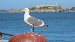 On this sunny day I couldn't resist taking a picture of this seagull, posing perfectly with Alcatraz Island in the background.