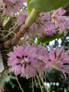 Dendrobium bracteosum var tanii alba x sib