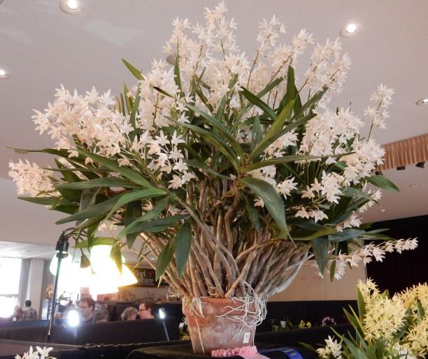 Dendrobium specio-kingianum