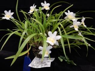 """Miltoniopsis phalaenopsis alba """"Dawn"""" CHM/AOS exhibited by Doug Kubo"""