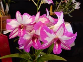 Dendrobium Enobi Purple 'Splash' exhibited by Anne Kimmerline