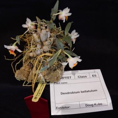 Dendrobium bellatulum exhibited by Doug Kubo