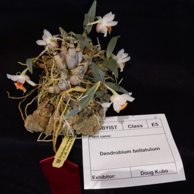 Dendrobium bellatulum exhibited by Doug Kubo