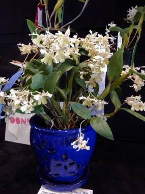 Dendrobium Micro Chip - exhibitor: Brenda Ruedy
