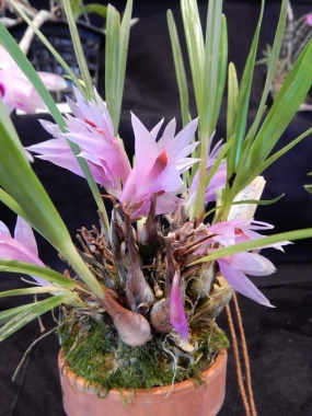 Dendrobium violaceum - exhibitor: Doug Kubo