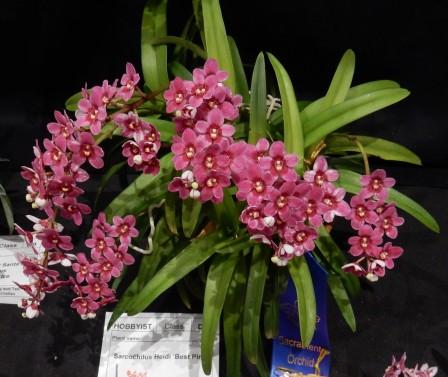 Sarcochilus Heidi 'Best Pink' - exhibitor: James Morris
