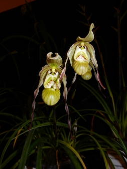 Phragmipedium pearcei exhibited by: Mark Leaphart