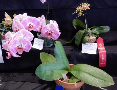 Doritaenopsis I-Hsin Beth #3 exhibited by Joan Gunn