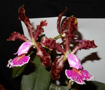 Cattleya schilleriana exhibited by Diana Blasingame