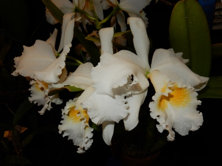 Cattleya Carl Hausermann exhibited by James Morris