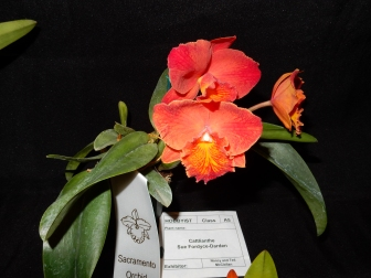 Cattlianthe Sue Fordyce-Darden exhibited by Nancy and Ted McClellan