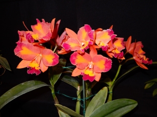Cattlianthe Aussie Sunset exhibited by Nancy and Ted McClellan
