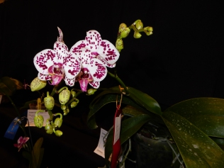 Phalaenopsis Tying Shin Fantastic 'World Class' exhibited by Joan Gunn