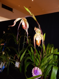 Phragmipedium Mont Fallu exhibited by Jay Klock
