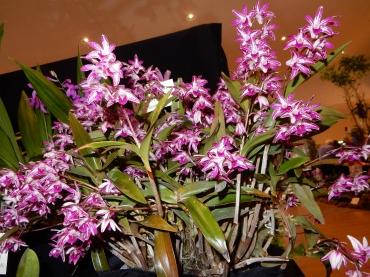 Dendrobium Victorian Blush 'Sevine'