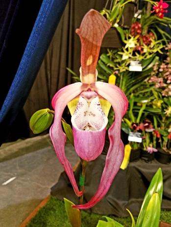 Phragmipedium Frank Smith