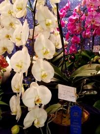 Phalaenopsis Sogo Yukidian #4